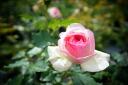 Roses climbing climbing rose rose vine pierreduronsard (large-flowered CL) domestic Miao freshman new saplings pink roses