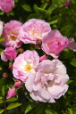 Pink Somers no (veiled in spring) (CL) domestic seedling size seedling 6 pot pink healthy rose seedling string rose rambler string rose rose