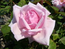 La France (HT) domestic production seedling size seedling 6 pot perpetual pink healthy rose seedling rose