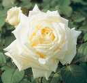Royal Princess (HT) domestic production seedling size seedling 6 pot perpetual white strong incense healthy rose seedling rose