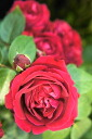 Rouge Pierre do Ron Sarh (CL) domestic production seedling size seedling 6 pot perpetual red strong incense rose seedling rose