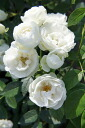 Seedling perpetual white rose seedling rose fresh for シュネープリンセス (miniature rose) domestic production seedling one year