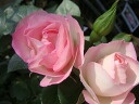 Roses climbing climbing rose rose vine Strawberry ice cream (CL) domestic seedlings onae No. 6, a perpetual double color robust rose seedlings