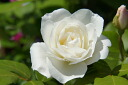 Roses climbing climbing rose rose vine iceberg ( CL) domestic Miao onae 6 pot white robust rose vine