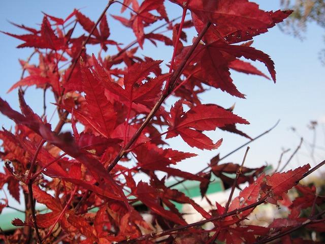 壁纸 枫叶 红枫 树 640_480图片