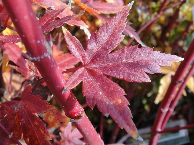 枫叶与苗树木落叶树符号树槭实生苗 サンゴカク图片