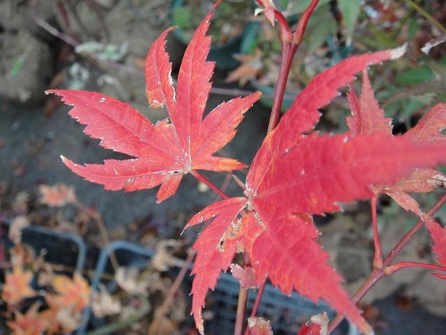 在冬天的叶子开始图片