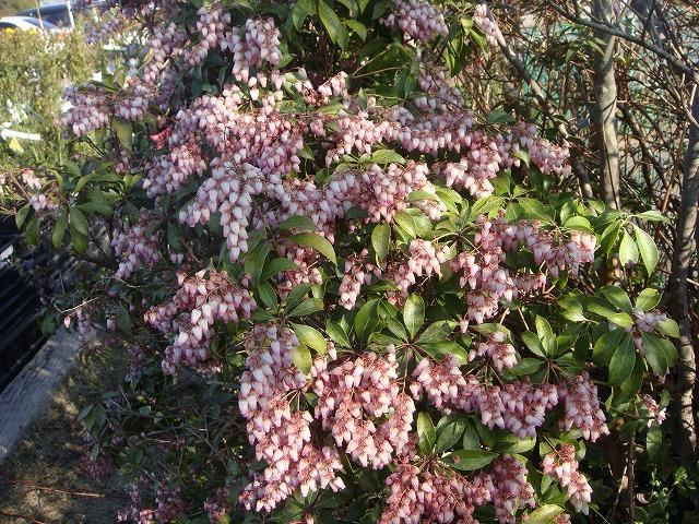 拧番红花アセビ根,并且是苗园艺树木常绿树矮树矮树