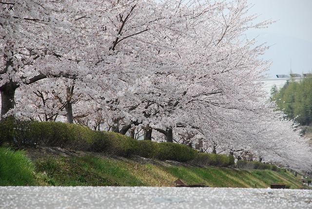 ソメイヨシノの画像 p1_26