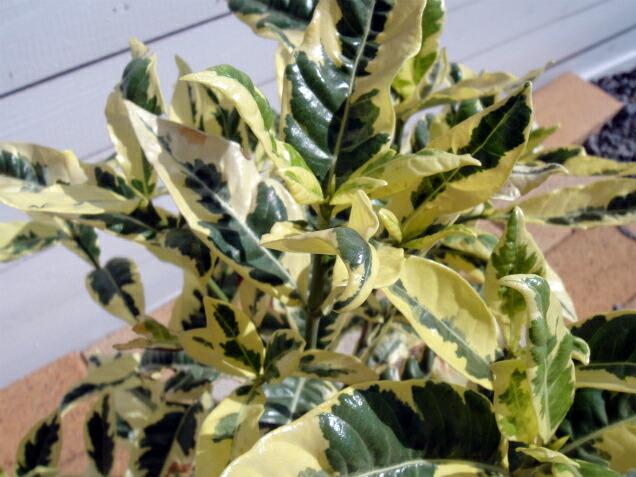 斑叶的栀子盆栽苗树常绿的树篱眼罩灌木