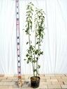 浓密的盆栽苗树常绿符号树