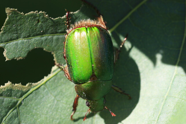 コガネムシ/甲虫類