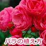 バラの植え方