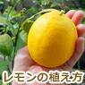 レモンの植え方