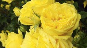 FLフロリバンダローズ(四季咲き中輪木立バラ)