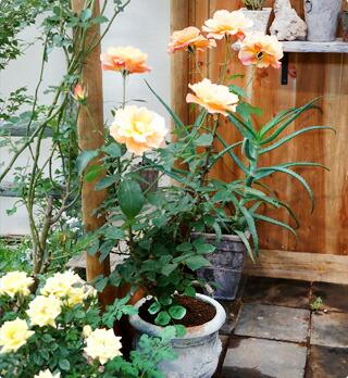 木立性のバラ