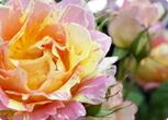 複色のバラ