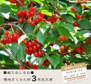 ■ ■ 3 年學生的討價還價嫁接龜分支水果樹櫻桃果樹苗