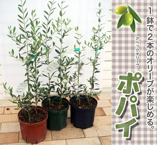 情侣油橄榄popeye二年级学生开衩盆栽苗园艺树木常绿树象征树油橄榄