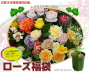 ■The ultimate rose lucky bag ■ manager whole body! Best Rose lucky bag size seedling rose seedling string rose grove beginner rose