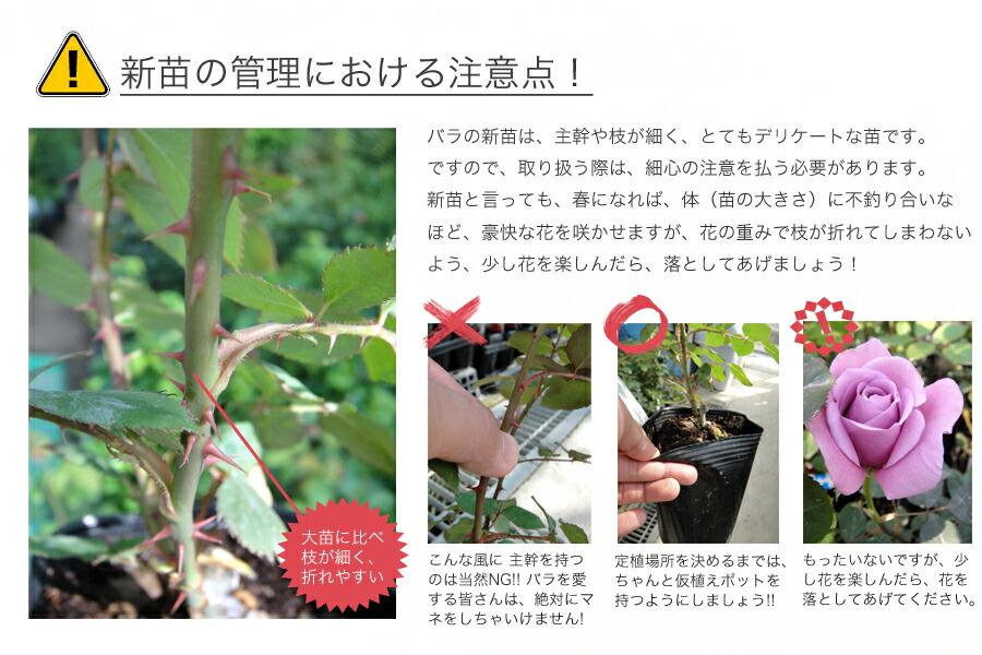 バラの新苗の注意点