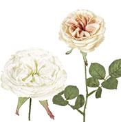 華やか庭咲き系ローズ:ホワイト/クリーム系