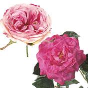 華やか庭咲き系ローズ:ビューティ/ピンク系
