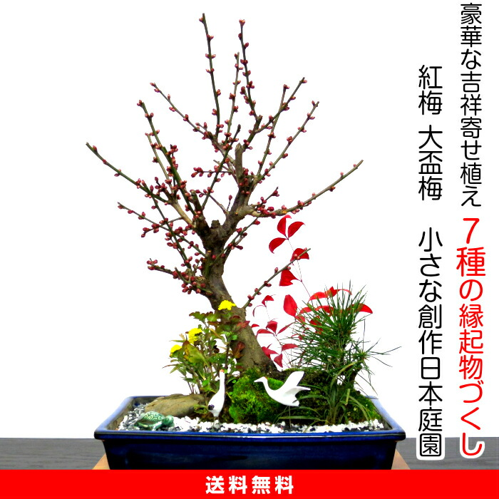 盆景梅树超过150的花苞有,大引起杯子梅树盆景豪华松竹梅树送到,栽种