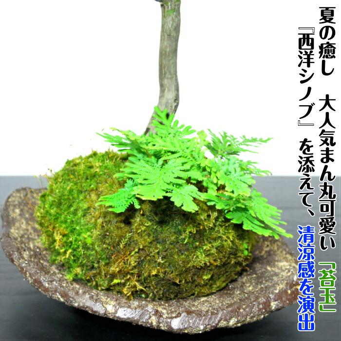 埼玉县盆景品牌世界 易读图片评论包括 [盆景店] [秋天的叶子枫树盆景
