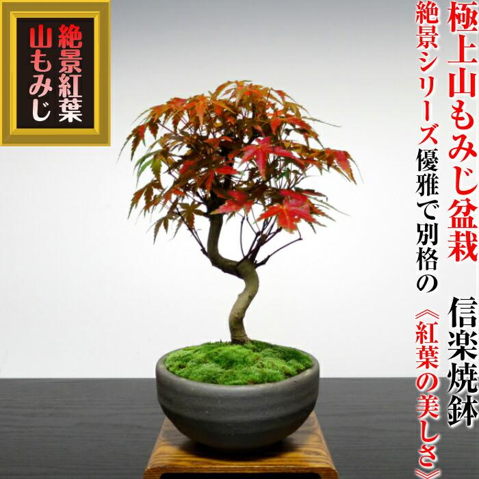 爷爷奶奶一天礼品 w 规划大山,向著日本枫树盆景高品质埼玉县盆景品牌