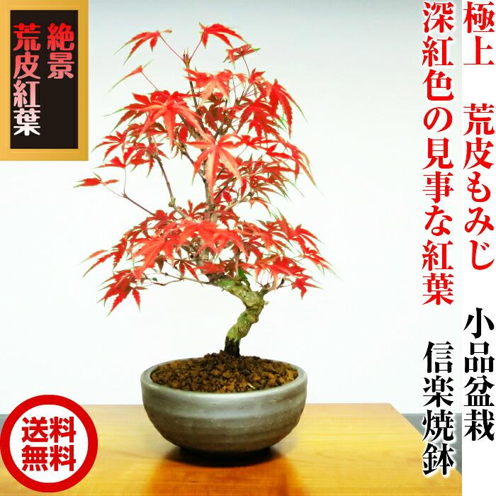 """""""例外""""粗糙的树皮日本枫树盆景"""