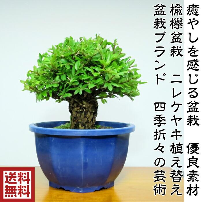 日本榉树盆景榆树 (nylekeyaki) 补植总理材料 高质量盆景