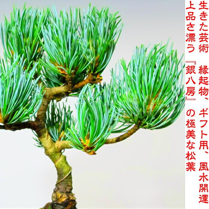 """《银的光辉》银八房5叶子松树盆景w礼物优惠盆景师""""大师""""和睦钵缝制"""
