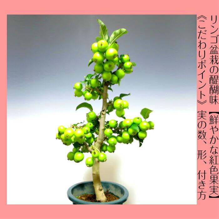 """盆景苹果树""""长红""""w 礼品策划的最高质量埼玉品牌第一批货的 60-70 的"""
