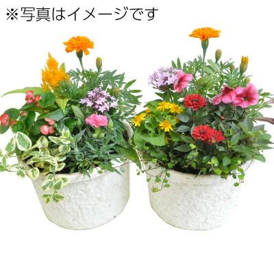 季節の鉢植え エコポット7号鉢 2個セット
