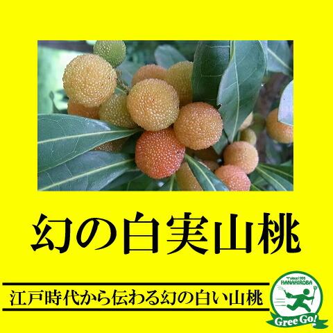 ヤマモモの画像 p1_24