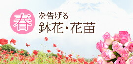 春を告げる鉢花・花苗