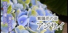 アジサイの苗 紫陽花