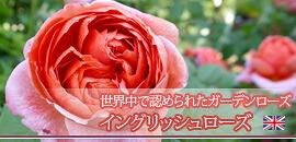 イングリッシュローズ イギリス 薔薇
