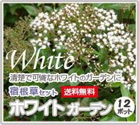 宿根草 ホワイトガーデンセット 白色 寄せ植え 花苗