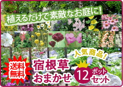 宿根草おまかせ12ポットセット 花苗セット 寄せ植えに最適!