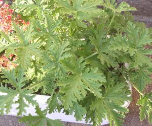 Hanakikyo rakuten global market herbal geranium herbzela continuum 4 pots mosquito - Medicinal herbs harvest august dry store ...