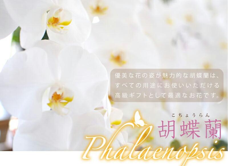 ��ij��(phalaeropsis)ͥ��ʲ֤λѤ�̥��Ū�ʸ�ij���Ϥ��٤Ƥ����Ӥˤ����Ƥ��Ȥ������������饮�եȤȤ��ƺ�Ŭ�ʤ��֤Ǥ���
