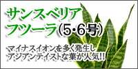 サンスベリア・フツーラ(5号)