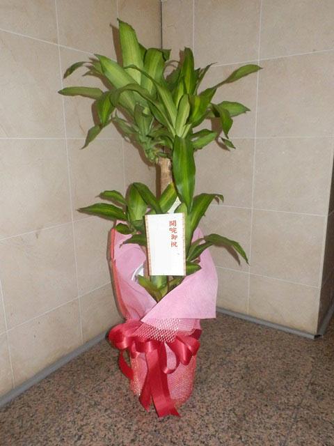 送料無料 観葉植物