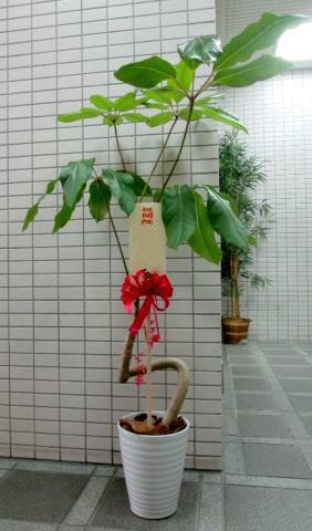 開業祝いに贈る観葉植物