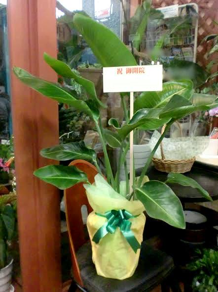 移転祝い 観葉植物