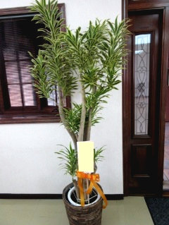開業祝い 観葉植物