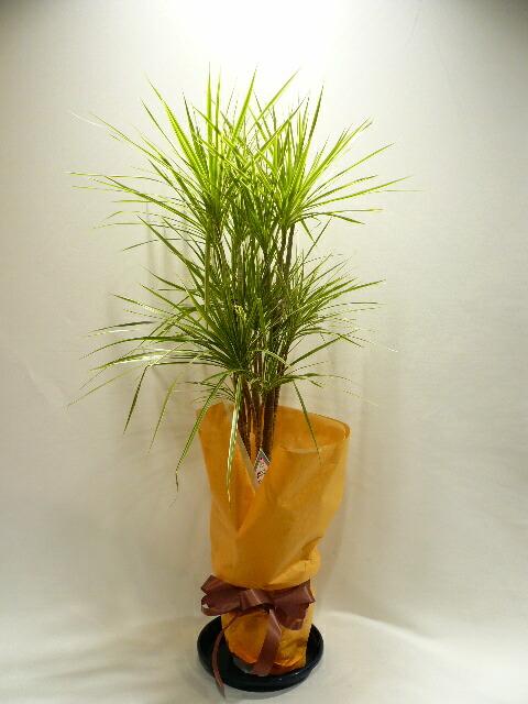開院祝いに贈る観葉植物