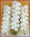 胡蝶蘭 3本立ち45輪以上